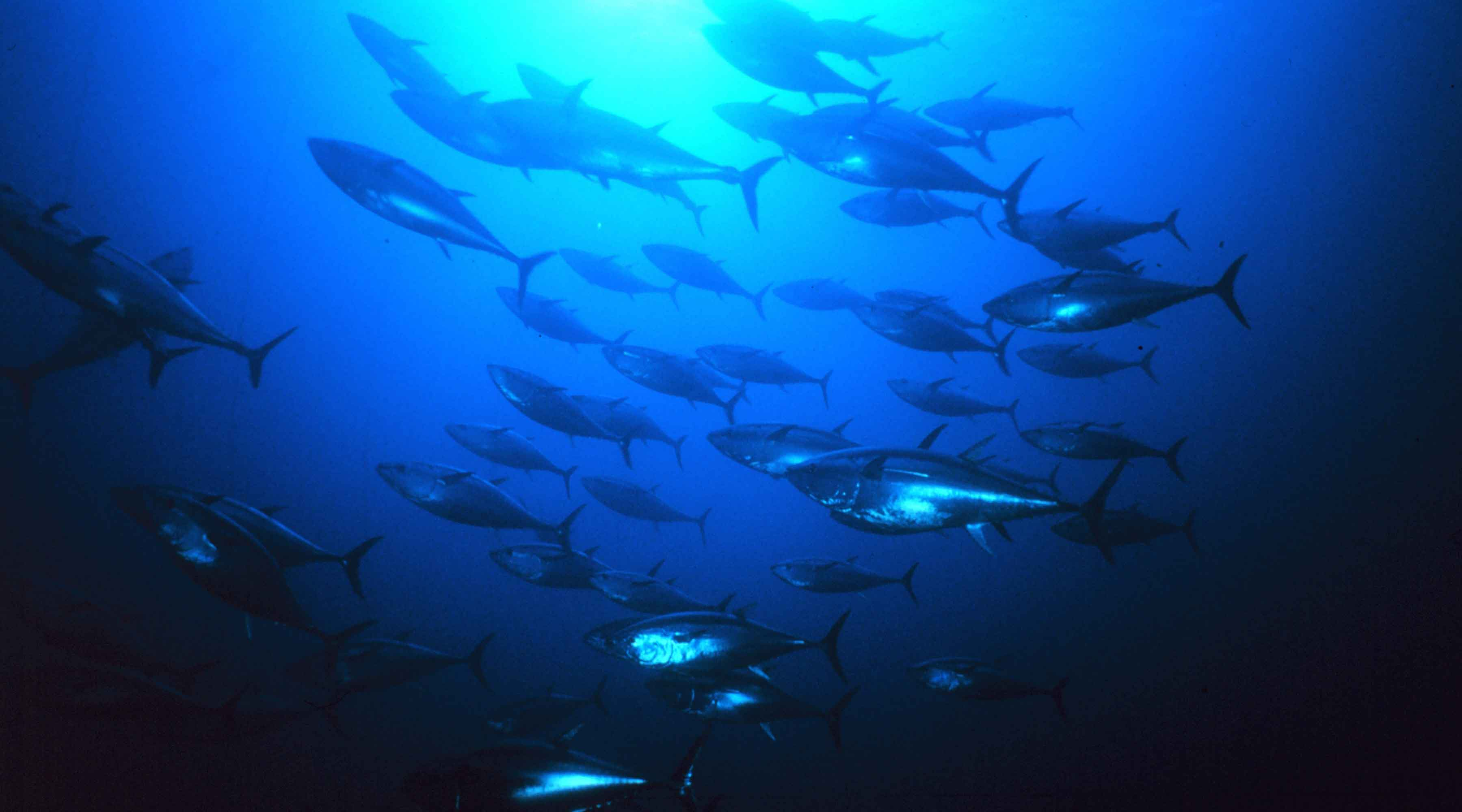 Adrenaline-Pumping Bluefin Tuna Fishing